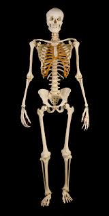 skeleton maly